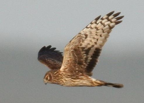 Hen harrier_female_J Murphy