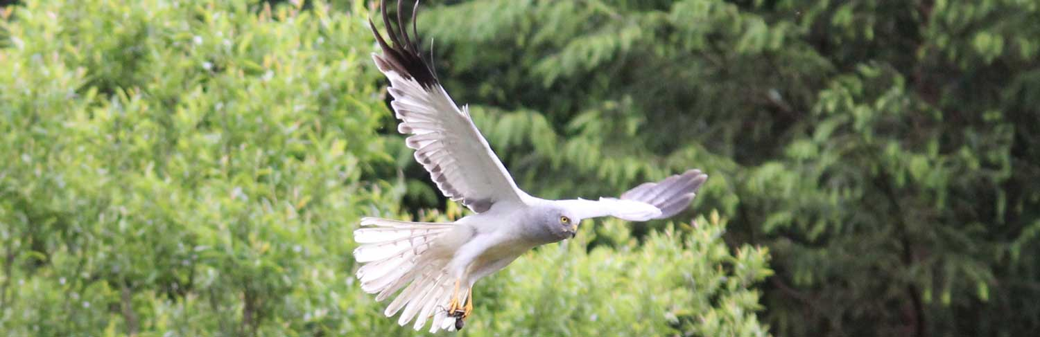 hen harrier project