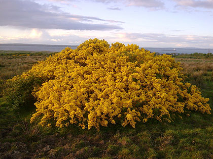 Gorse-bush-in-Owl-Field-May-2010-Re-Barry