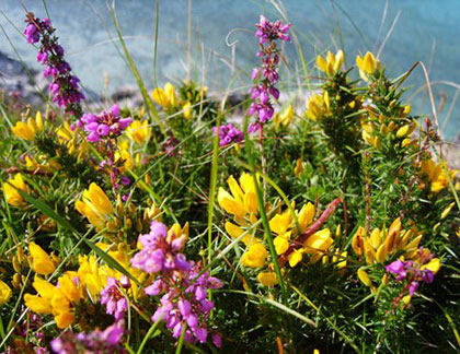 heather-gorse-re-Barry