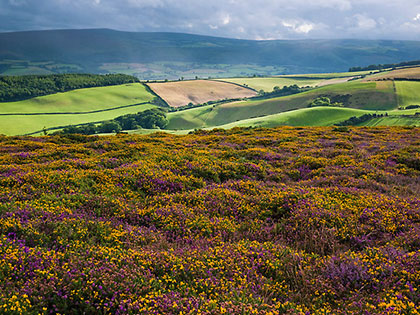 heather-gorse2-re-Barry